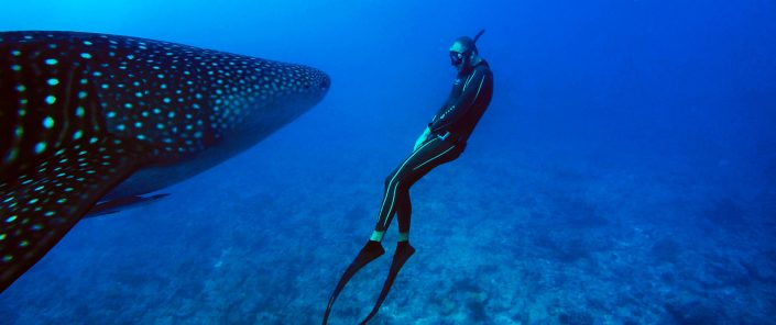 Free diver in front of whale shark