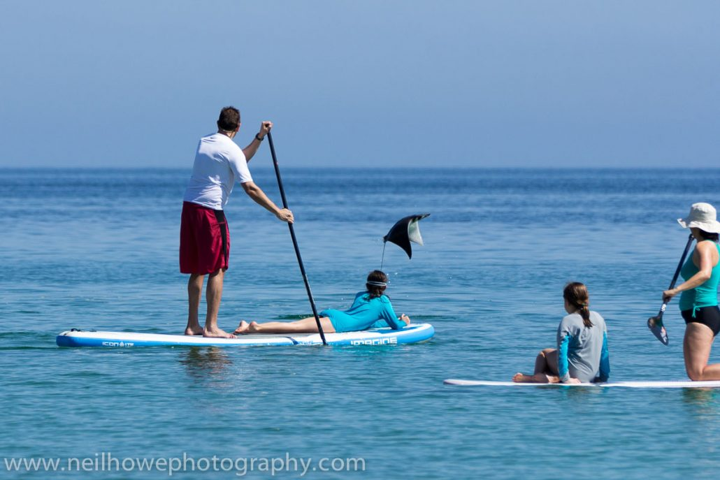 Stand Up paddlers with a ray jumping out in front.