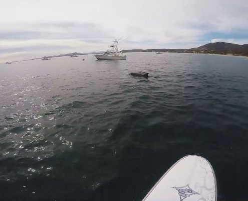 Stand Up Paddling with dolphins on the Sea of Cortez at Vela Baja