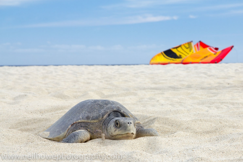 Turtle and Kite